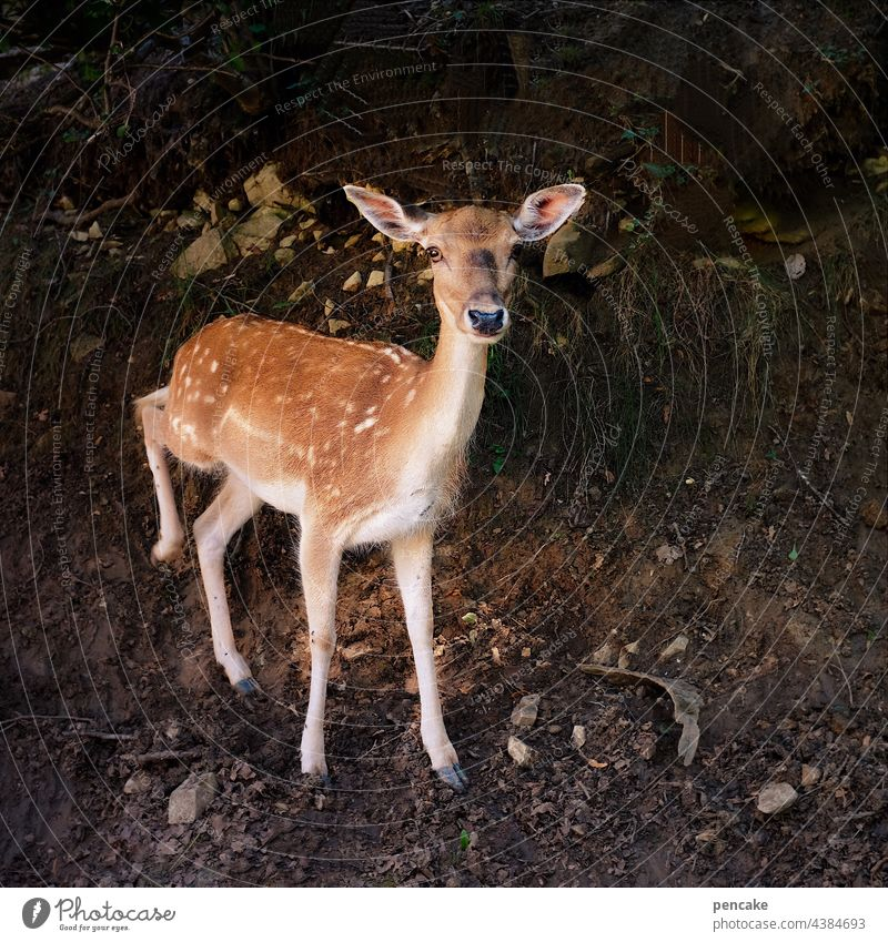 shy deer in the forest, gallantly it raises its run, ready to leap for flight. Roe deer Forest somber hind leg Escape Animal Elegant Looking into the camera