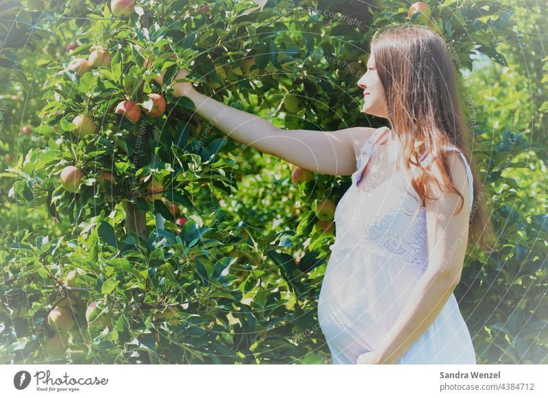Pregnant woman picking apple maternity fashion pregnancy Nutrition Baby bump Stomach salubriously fruit other circumstances Woman long hairs Nature naturally