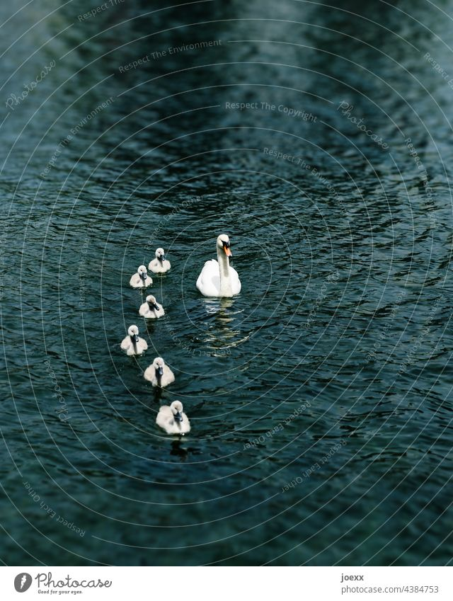 Swan swimming with chicks on dark water Mute swan Boy (child) Animal boy Chick Water Single parent Bird Family Exterior shot Animal family group Parents