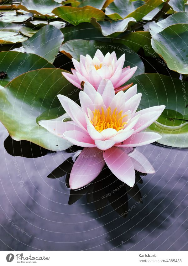 water lily Water lily Pond Plant Nature Green Blossom Lake Colour photo Flower Leaf Water lily leaf Exterior shot Deserted Water lily pond Aquatic plant Day
