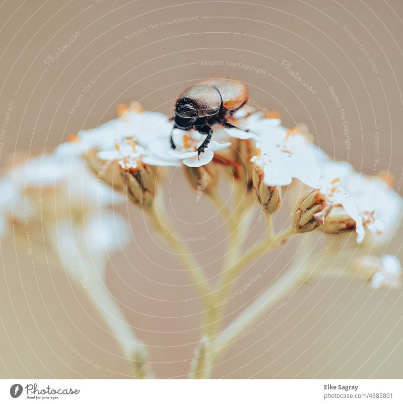 brown carapace beetle on a flower Beetle Insect Red Leaf Exterior shot Animal Small Shallow depth of field