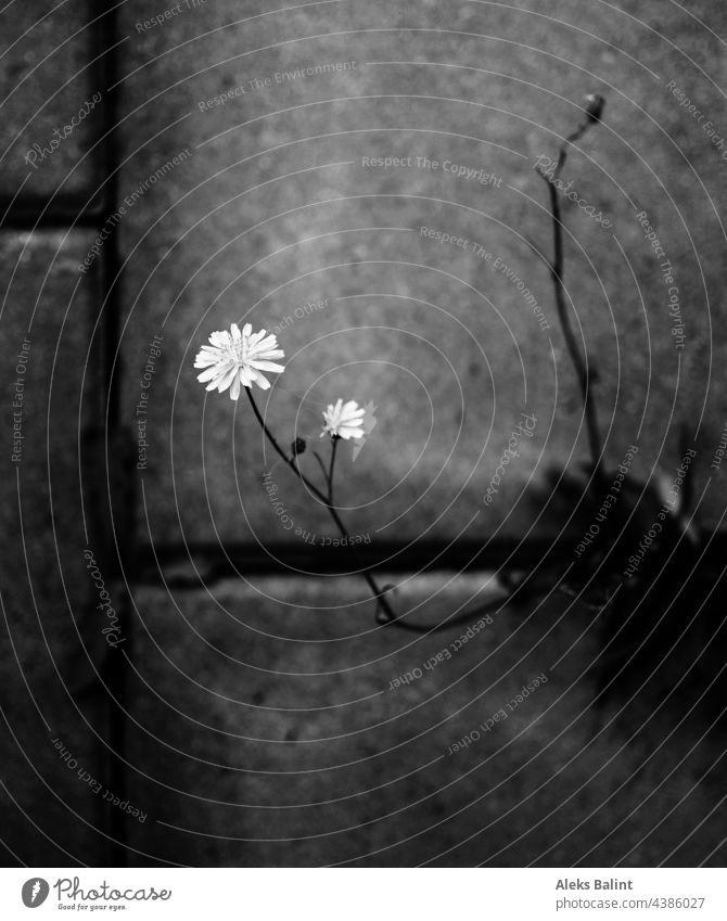 flower struggling through concrete, in black and white Flower Black & white photo Plant Exterior shot Concrete Concrete floor concrete blocks Close-up Fight