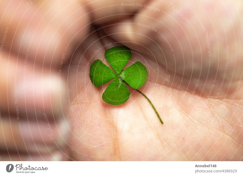 Isolated hand with green four leaf clover, sign of luck, sign of great fortune. closeup plant lucky symbol day nature natural finger background shape hope irish