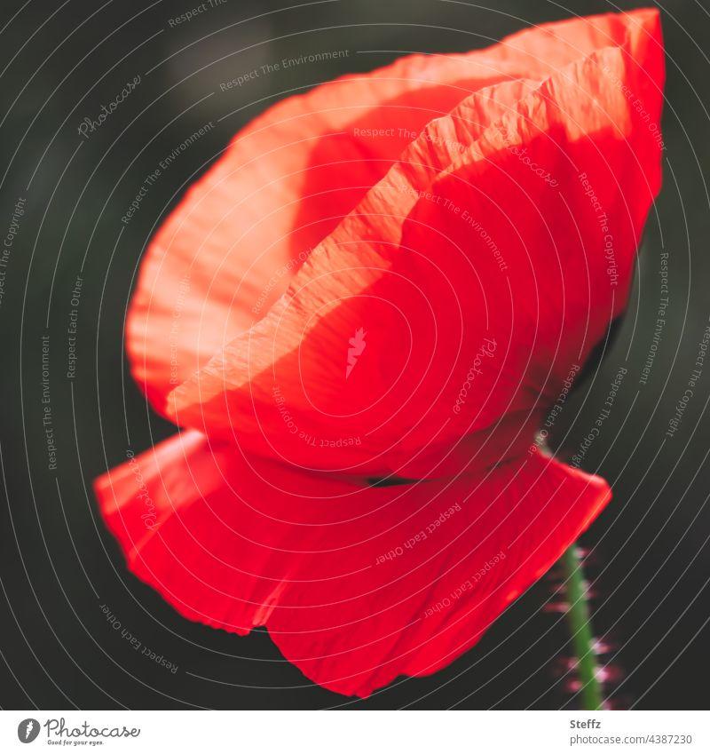 The poppy, insists on red. Stay Poppy Poppy blossom red poppy poppy flower papaver haiku Poetic red wild flower red blossom red flower Wild plant Meadow flower