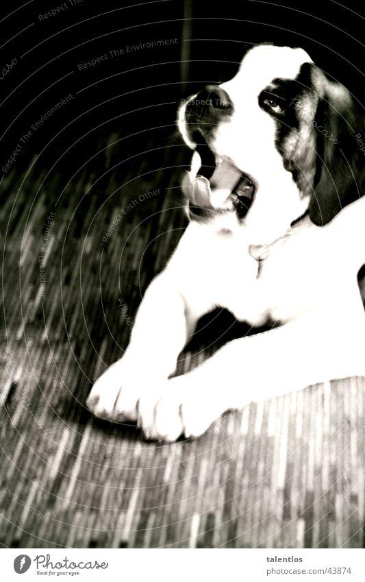 action dog Dog Yawn Pet Fatigue Dynamics bernhardiner