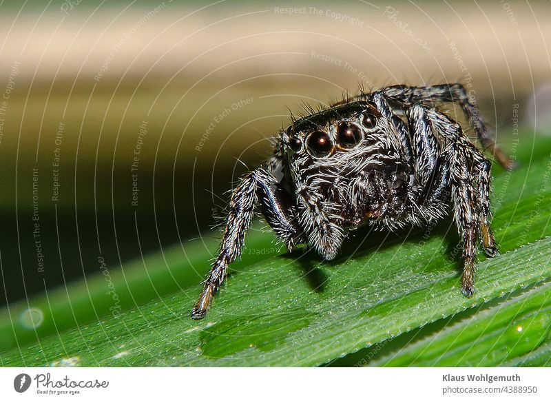 Jumping spider on a blade of grass Spider macro Close-up Nature Colour photo Animal Macro (Extreme close-up) Deserted Animal portrait Shallow depth of field