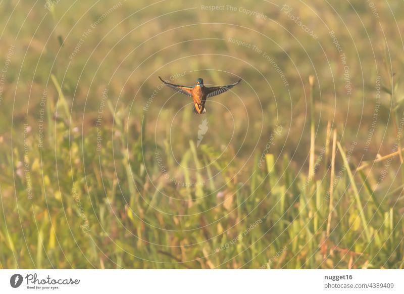 Kingfisher in shaking flight over a reed belt kingfisher Bird Animal Exterior shot Colour photo Wild animal Nature 1 Environment Deserted Animal portrait