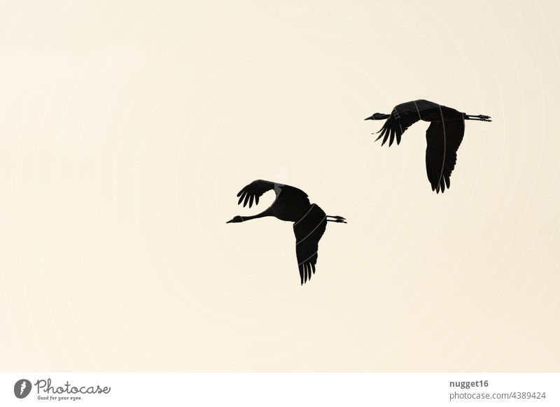 Silhouettes of flying cranes in morning light Crane Cranes Sky Flying Nature Bird Exterior shot Wild animal Colour photo Animal Deserted Environment
