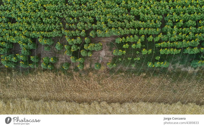 overhead view of a sunflower and wheat plantation. drone shoot field agriculture sunflowers aerial summer outdoor nature bright landscape horizon yellow sunny