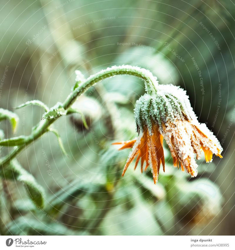 the winter marigold Environment Nature Landscape Plant Winter Climate Ice Frost Snow Snowfall Flower Wild plant Marigold Daisy Family Flowering plant Blossom