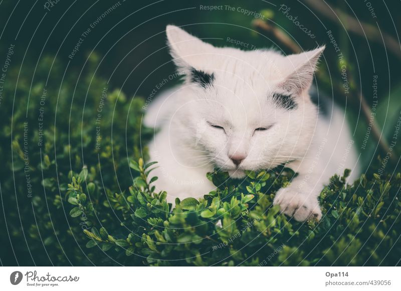 "midday nap Nature Plant Animal Summer Bushes Blossom Foliage plant Agricultural crop Garden Pet Cat 1 Baby animal Sleep Happy Green Black White Relaxation ""Cat"