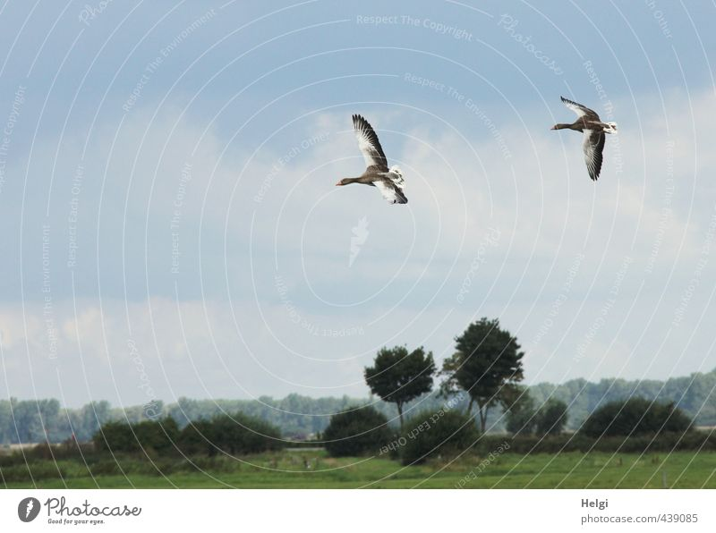 landing approach... Environment Nature Landscape Plant Animal Sky Summer Beautiful weather Tree Grass Bushes Meadow Wild animal Goose Gray lag goose 2 Movement