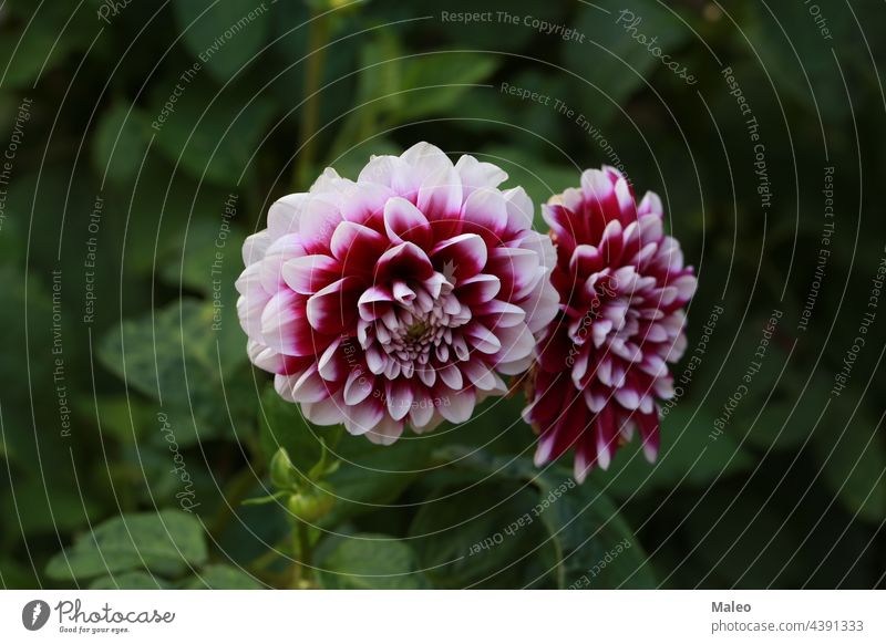 Isolated natural dahlia flower on green background aroma autumn beautiful beauty bed bloom blooming blossom botany bouquet bright bush closeup color cultivated