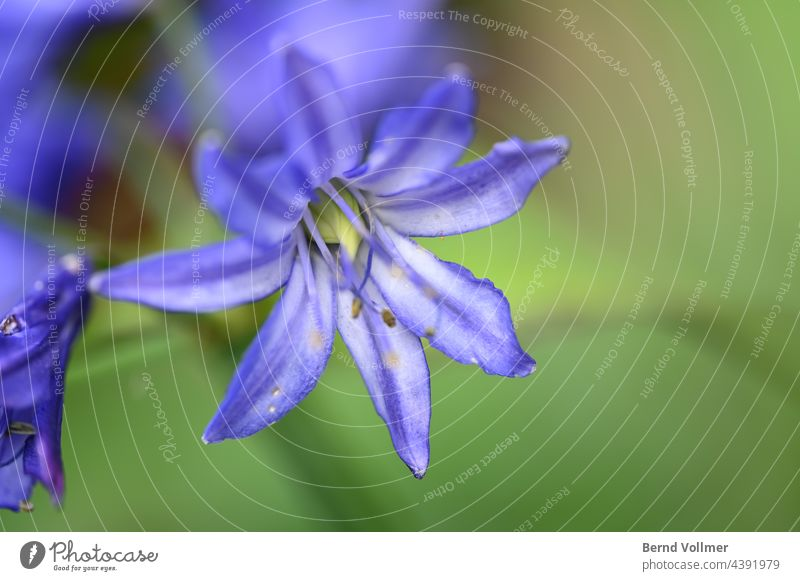 Beautiful lily Agapanthis decorative lily agapanthus Country  garden Amryllis family Blossom Flower Plant Exterior shot Colour photo Summer Deserted Green