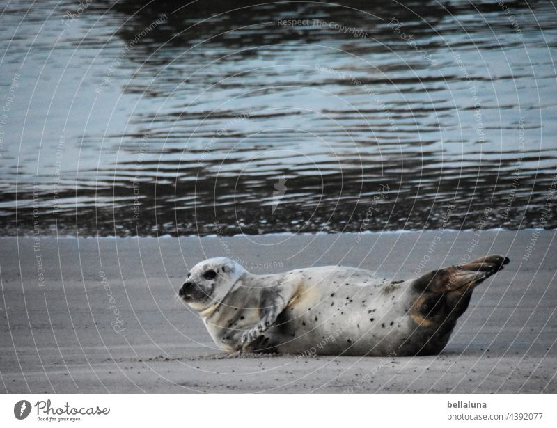 Seal off Helgoland ahead Seals Seal colony Animal Colour photo Exterior shot Wild animal Nature coast Environment Day Beach Deserted Ocean North Sea Water
