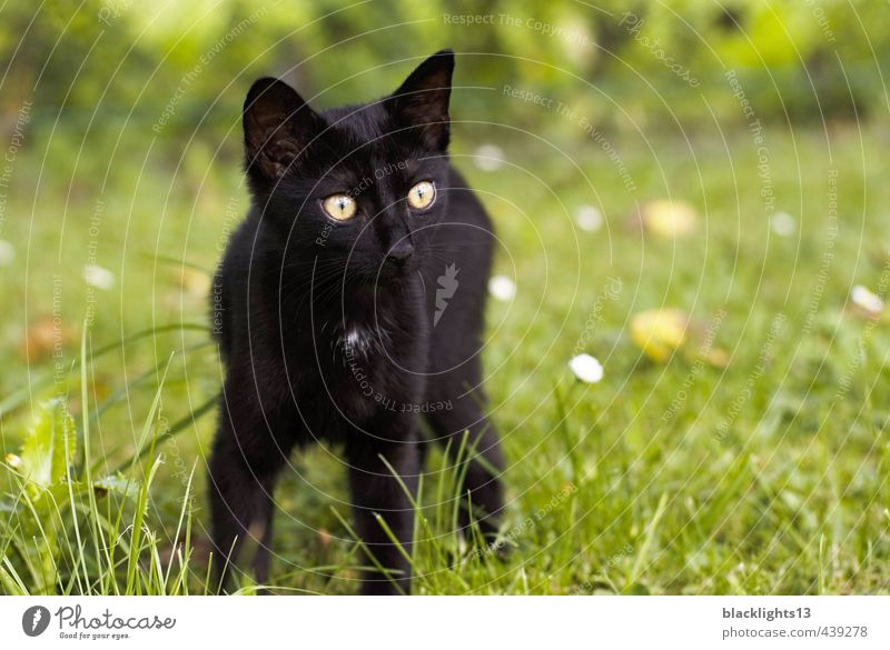 "Cat ""excrement cuba"" Domestic cat Pet Cat eyes Eyes Looking Animal Black Exterior shot Summer Lawn Happiness Baby animal Face Playing"