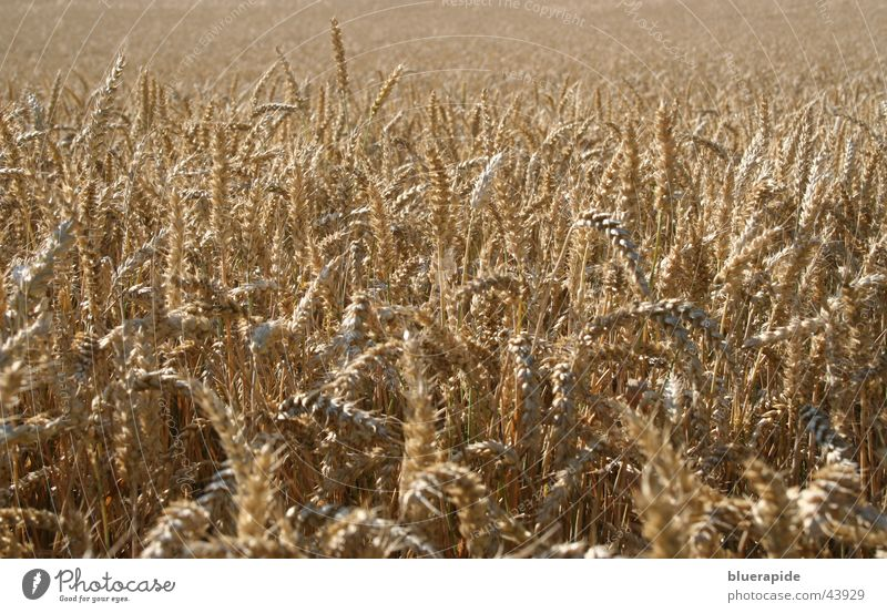 Far-off places Brown Field Harvest Dry Blade of grass Grain Wheat Ear of corn
