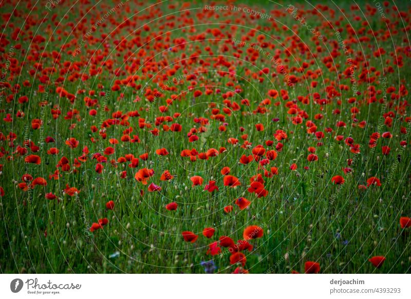 Today is Mon ( h ) day. Countless poppies on a green meadow. Nature Flower Summer Blossom Red Poppy Exterior shot Plant Poppy blossom Deserted Colour photo