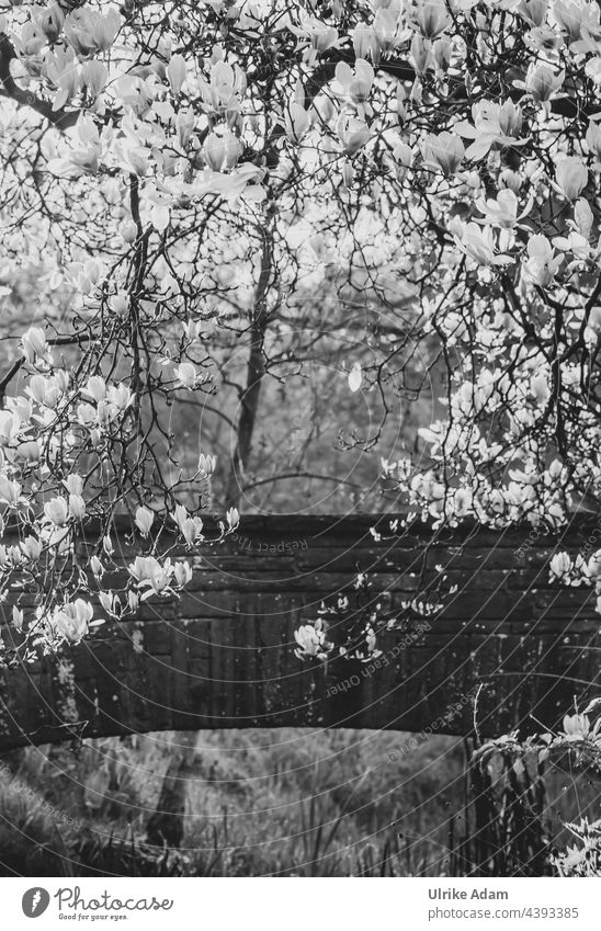 Favourite place - Magnolias in full bloom in front of an old stone bridge Rhododendron Park Bremen Exterior shot Back-light Deserted Environment Light Plant
