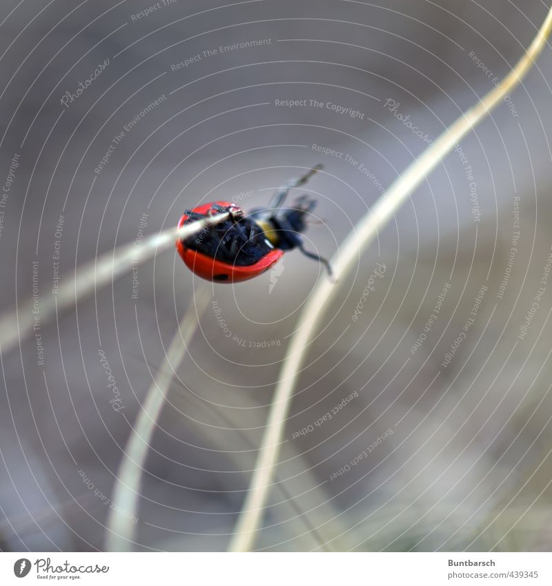 pole vault Nature Animal Grass Blade of grass Beetle Ladybird Insect 1 Movement Hang Small Cute Climbing Colour photo Exterior shot Close-up