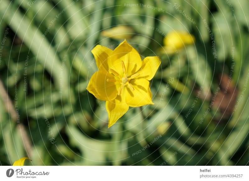 Yellow flower in field against background cropped Flower Blossom Macro (Extreme close-up) Spring Green Ornamental flower wild flower garden flower sunny day