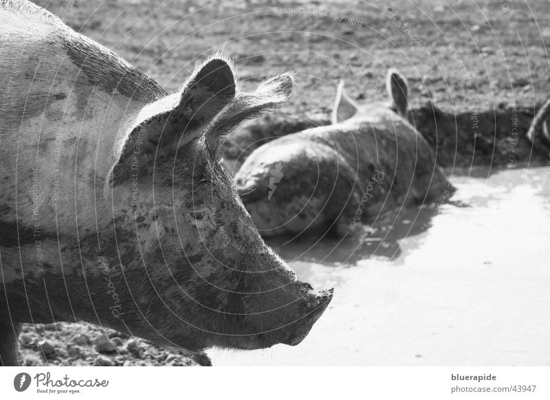 pigs' EIRY Nature Pond Dirty Black White Swine Sow Mud Bristles Odor Malodorous Mud bath Wallow Black & white photo Exterior shot Day Pig head Head Ear Profile