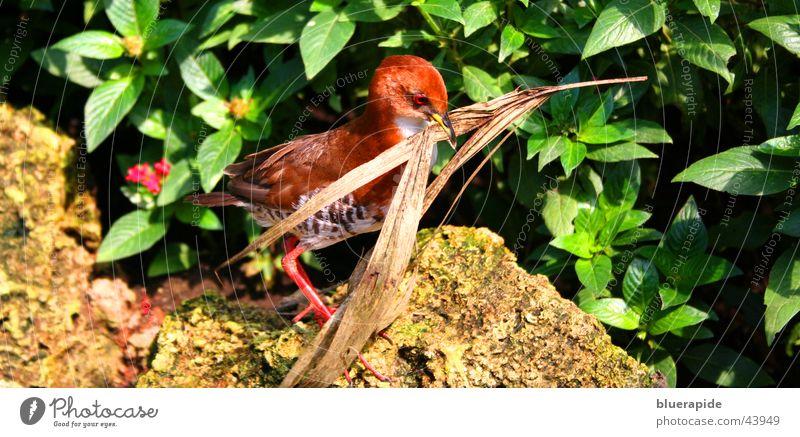 Bird at nest building Red Leaf Bushes Beak Nest vogle Walking Multicoloured Stone Carrying Twig Shriveled Build