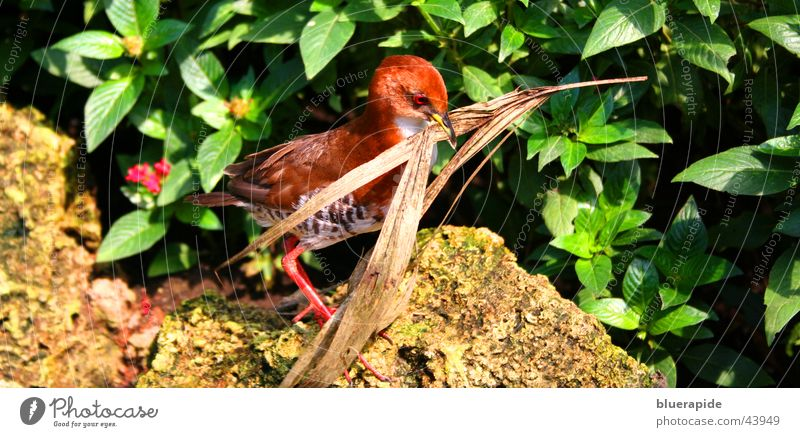 Red Leaf Stone Walking Bushes Build Twig Beak Carrying Shriveled Nest
