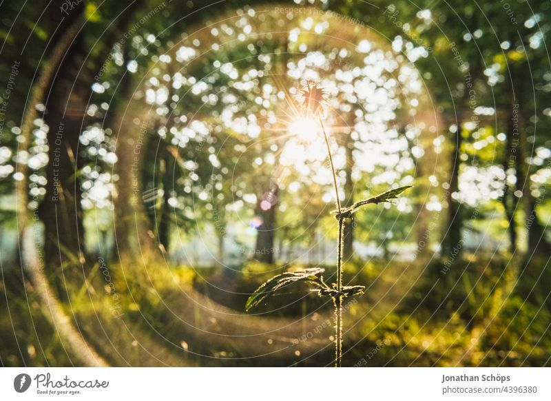 Plant backlit close up in forest with light reflections Back-light Close-up Forest Wild plant Medicinal plant Nature Green Exterior shot Colour photo Day