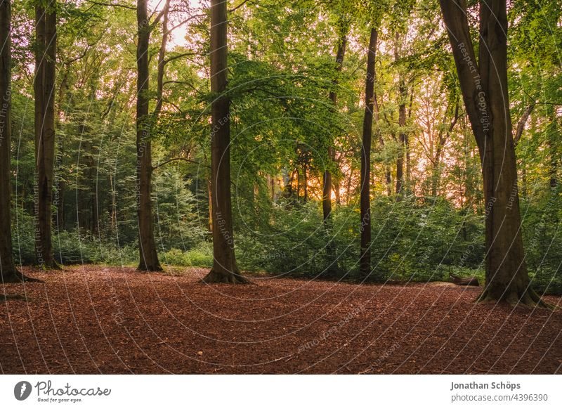 shining forest with evening sun behind the trees Forest Evening sun luminescent Green Power Tree kitchen forest Nature Sun Exterior shot Sunlight Light Deserted
