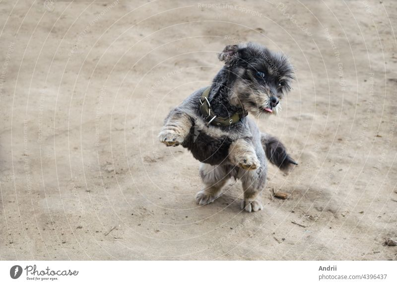 A playful black dog stands on its hind legs. Playing with pets. Care and education. jump cheerful joy playing smile cute adorable animal beautiful brown-eyed