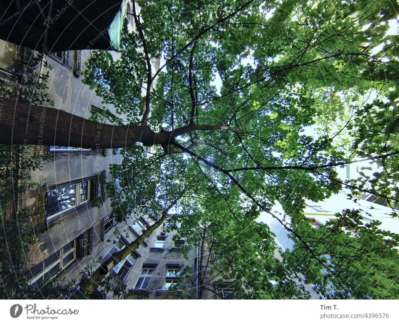 View upwards in a Berlin backyard with tree Tree Backyard Schönhauser Allee Prenzlauer Berg Downtown Capital city Old town Deserted Building Day Town