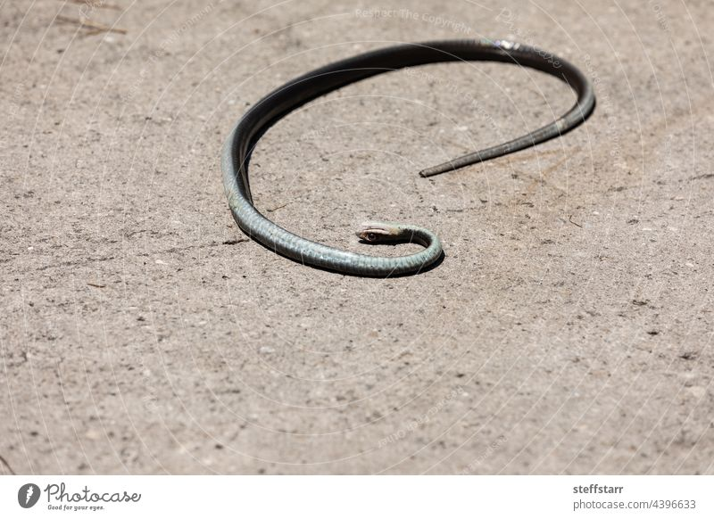 Dead black southern racer snake Coluber constrictor priapus Southern racer serpent saurian black snake scales herp wildlife dead death playing dead animal