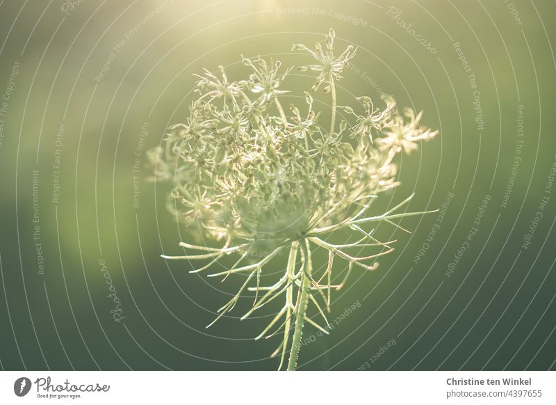 Beauty in August, withered wild carrot, delicate in the sunlight Wild carrot Blossom Flower umbel Apiaceae Umbellifer Wild plant Summer wild flower
