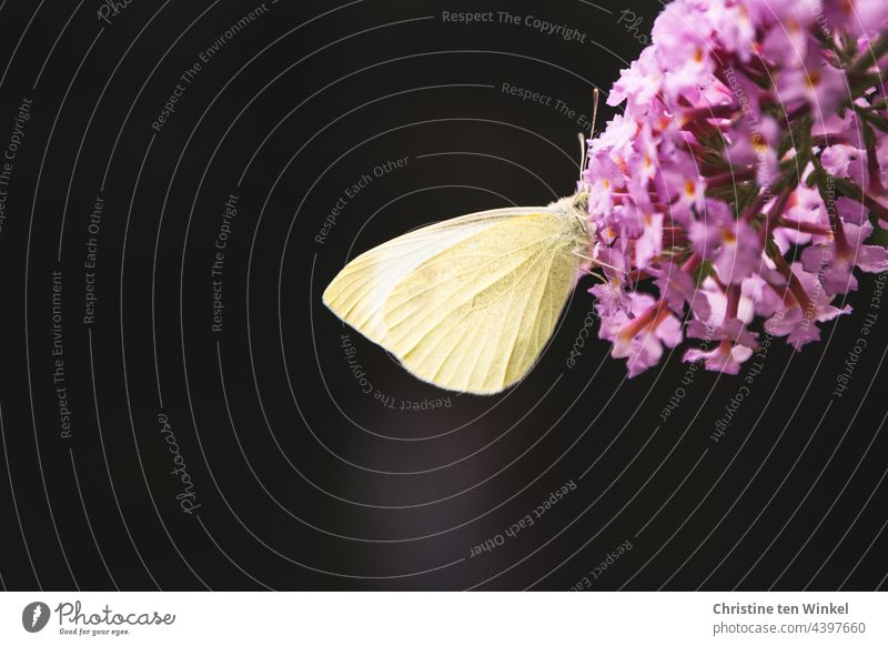 A hungry cabbage white butterfly has buried its little head deep in the blossoms of the summer lily Butterfly butterflies Pieris brassicae