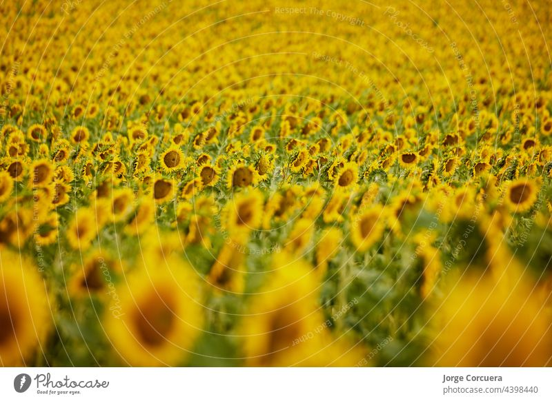 Background of colorful sunflowers from a farm Sunflower background Yellow pretty macro naturally Nature object Orange Organic over Pattern Blossom leave Round