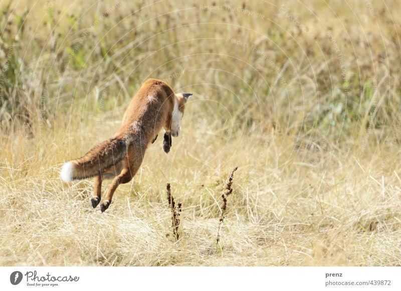 Nature Green Landscape Animal Environment Jump Brown Wild animal Hunting Darss Nature reserve Fox