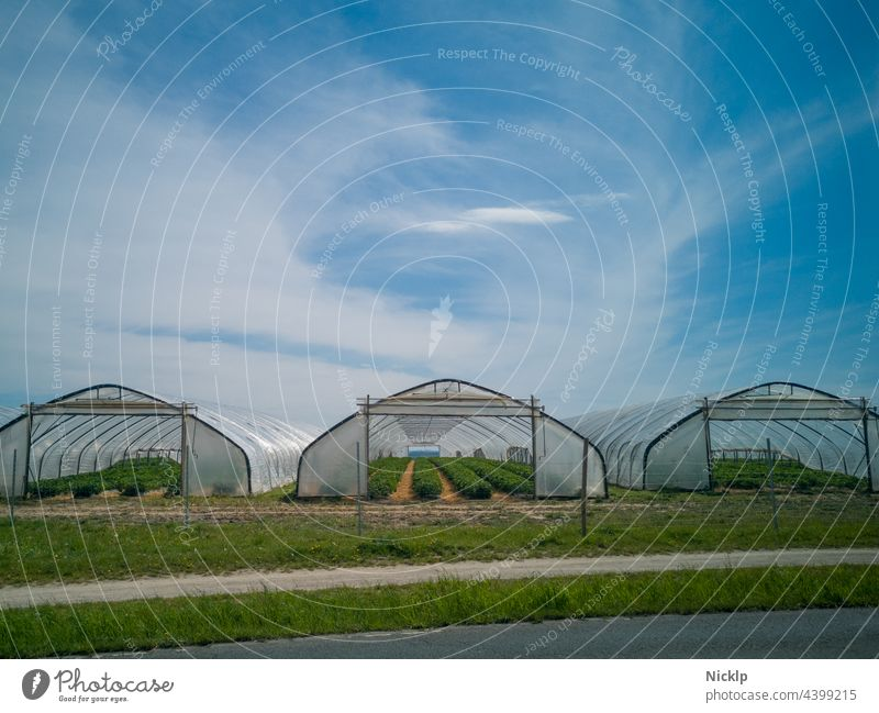 Three greenhouses (foil tunnels) with strawberry plants in front of blue sky with clouds Agricultural product Agriculture agrarian strawberry field Strawberry