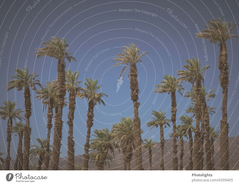 A row of palm trees of different sizes in front of a hilly landscape naturally Large Row Side by side Deserted Exterior shot Colour photo Green Palm frond