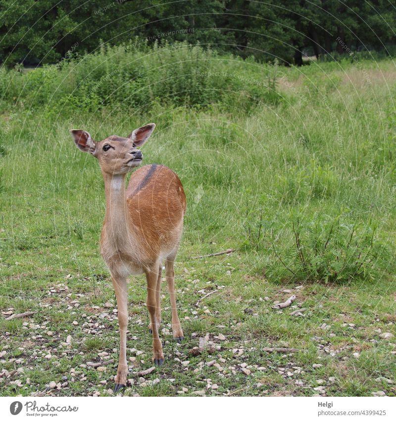 a velvet animal stands on a meadow and looks upwards Fallow deer Velvet feminine Fallow deer enclosure Animal portrait Exterior shot Deserted 1 Looking Meadow