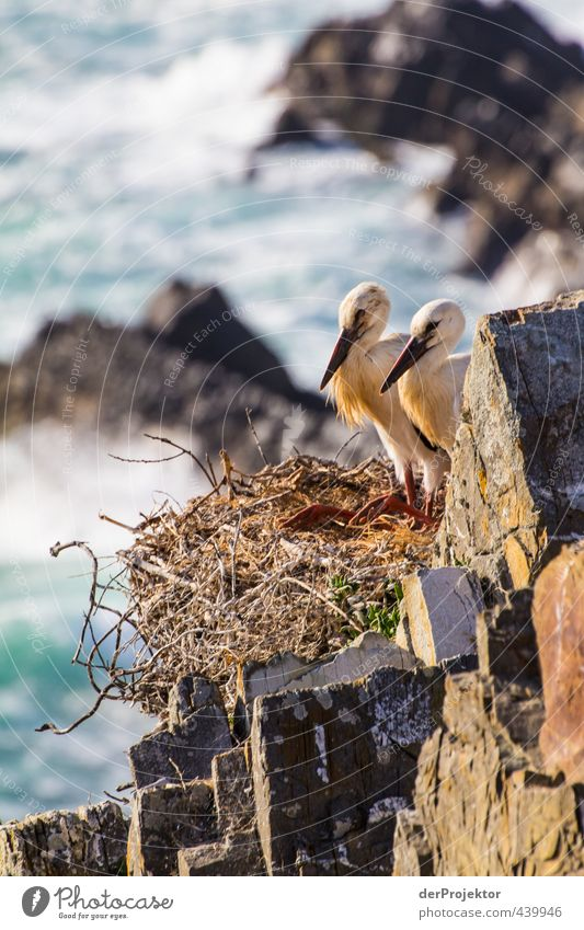 Storks nest on rocks - Portugal 2013 Environment Nature Landscape Animal Elements Summer Rock Coast Ocean Wild animal Bird Baby animal Esthetic Athletic