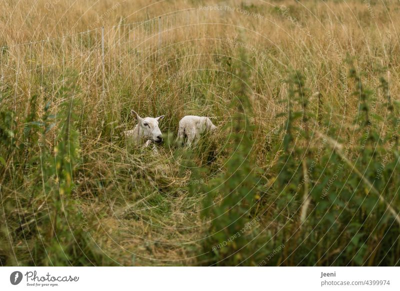 Sheep mom with little lamb hidden in gas Flock bleat Stand Lie Sit Animal animals Farm animal Meadow Farm animals Group of animals Animal family