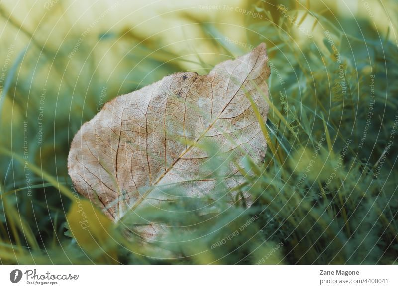 Fallen leaf in green grass, early autumn texture Early fall Sadness wind abstract lonely leaf fallen Too early fall is coming end of summer august Autumn leaves