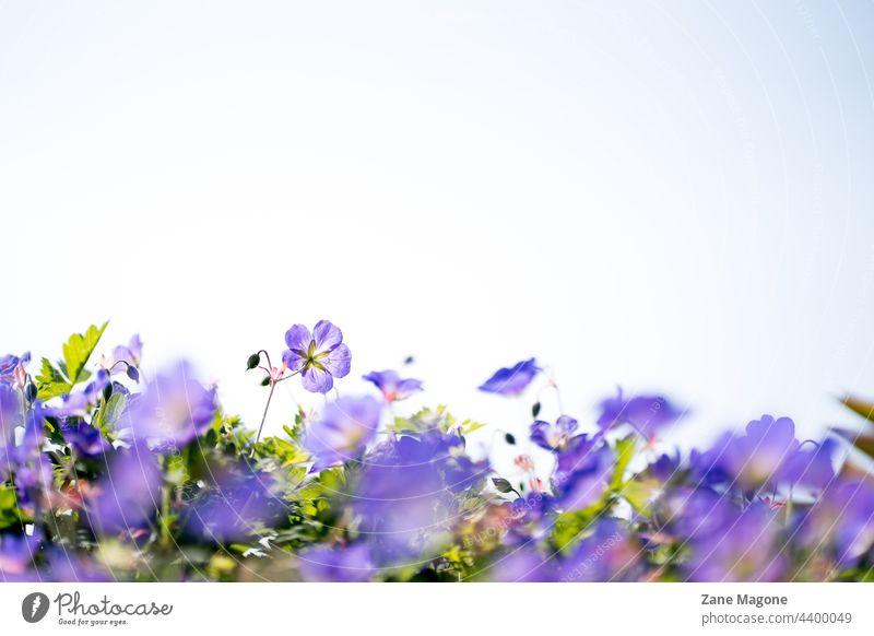 Geranium 'Gerwat' ROZANNE, (cranesbill), floral background with copy space geranium gerwat purple garden blossom bloom violet beauty rozanne summer pink macro