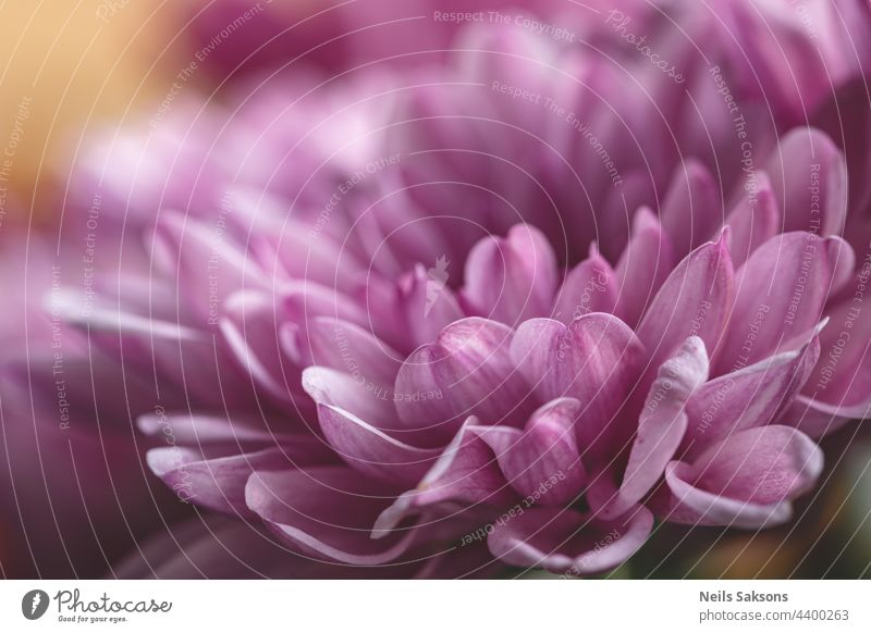 Chrysanthemum flower as a background close up. Purple Chrysanthemum in autumn. Chrysanthemum wallpaper. Floral background. Selective focus freshness