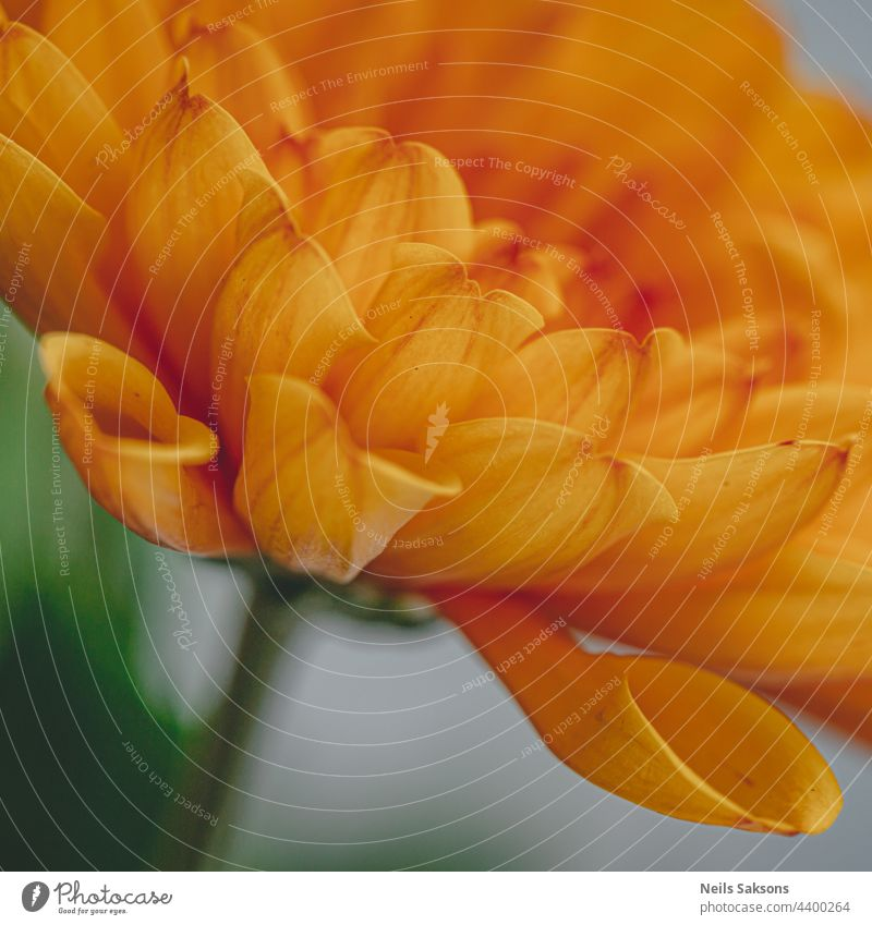 macro picture of orange chrysanthemum on a blurry background close-up cream decoration vibrant focus object petals single flower one flower isolated freshness