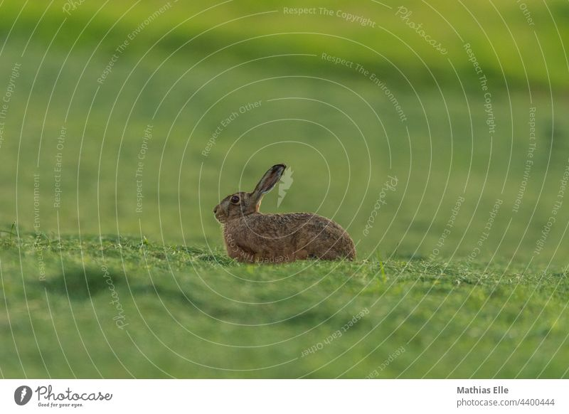 Hare relaxing on the freshly mown meadow Hare ears Love of animals Protection Dark green Subdued colour daylight Watchfulness Wild Grass blurriness Deserted