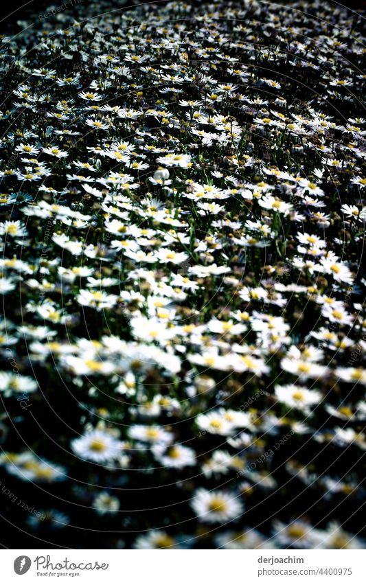 Lots and lots of daisies, all in one place. flowers Colour photo Flowers and plants Summer Exterior shot Blossoming Green naturally Close-up Blossom leave