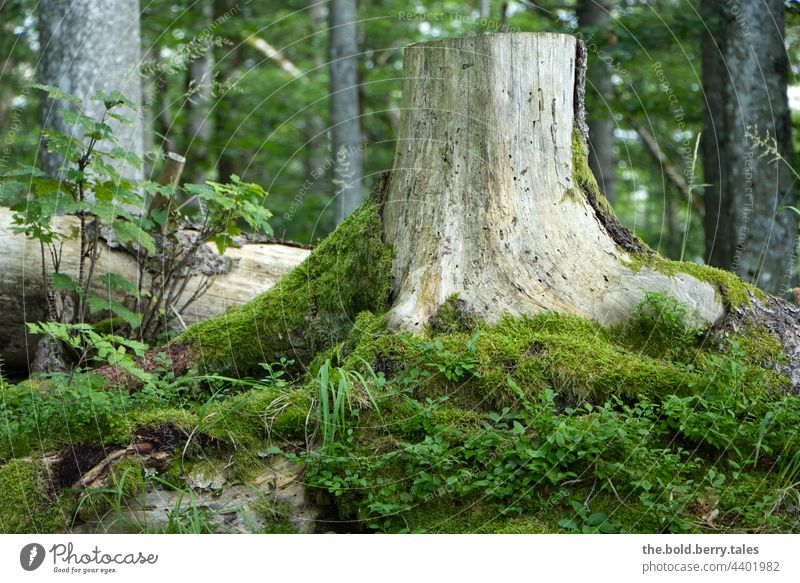 Tree stump covered with moss in the forest Summer Forest Moss Green Nature Colour photo Exterior shot Deserted Plant Day naturally