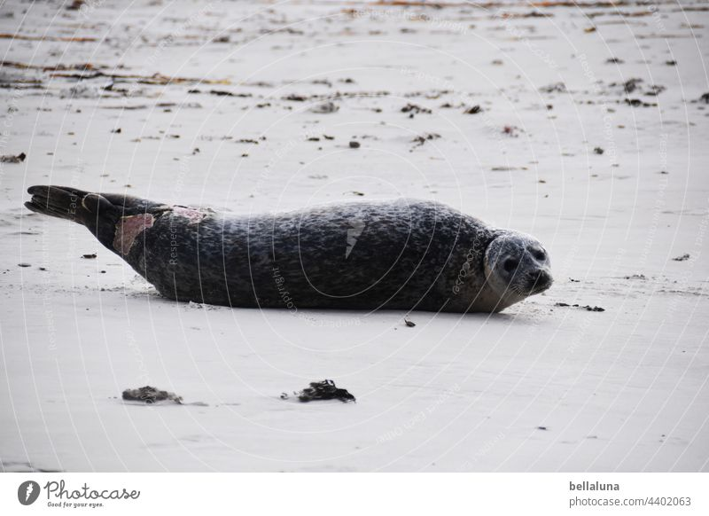injured seal off Helgoland Seals Seal colony Animal Colour photo Exterior shot Wild animal Nature coast Environment Day Beach Deserted Ocean North Sea Water